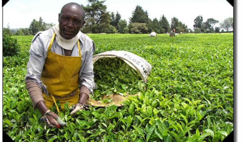 Picking tea, Kenya.